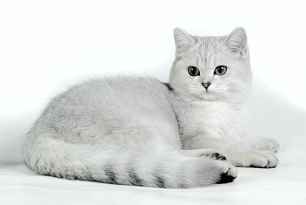 British Shorthair O Gato Britânico Gatil Spiritland Blog